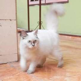 Kucing Persia Himalaya Betina