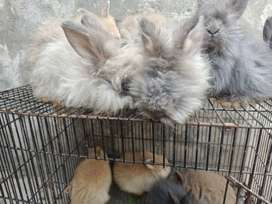 English Angora Bunnies from Imported Parents