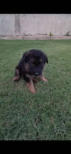 1 month plus old pups available