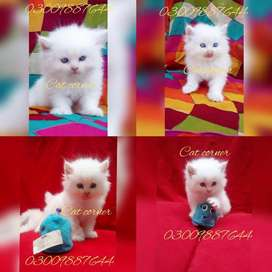 """Persian Cats""""For SALE"""""""