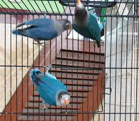 Love bird biru manuk 3