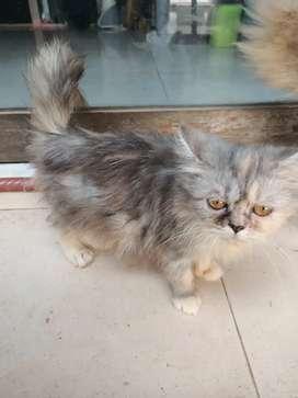 Kucing Persia Calico Abu