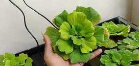 Wotar cabbage