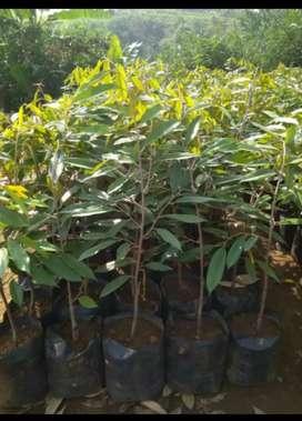 Bibit durian musangking hasil okulasi