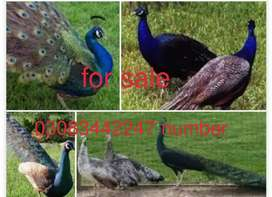 11 month peacock  for sale pair 18000rs