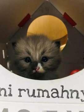 Kucing anggora himalaya