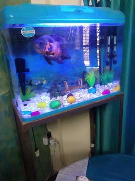 Oscar fish .Healthy and beautiful