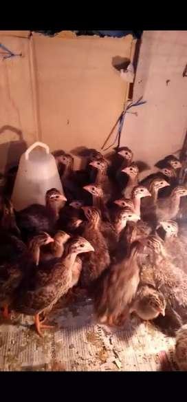 Ayam Guinea (mutiara)