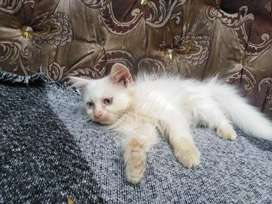 Persian kitten is now available