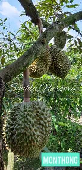 Durian: Musangking, Bawor, Duri Hitam, Monthong, Pelangi, Petruk