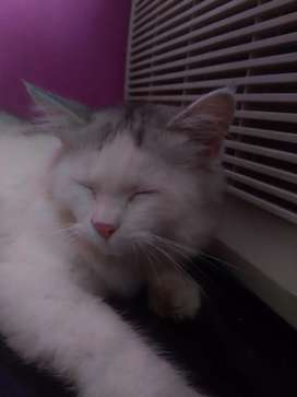 4 months old Persian kitten for sale