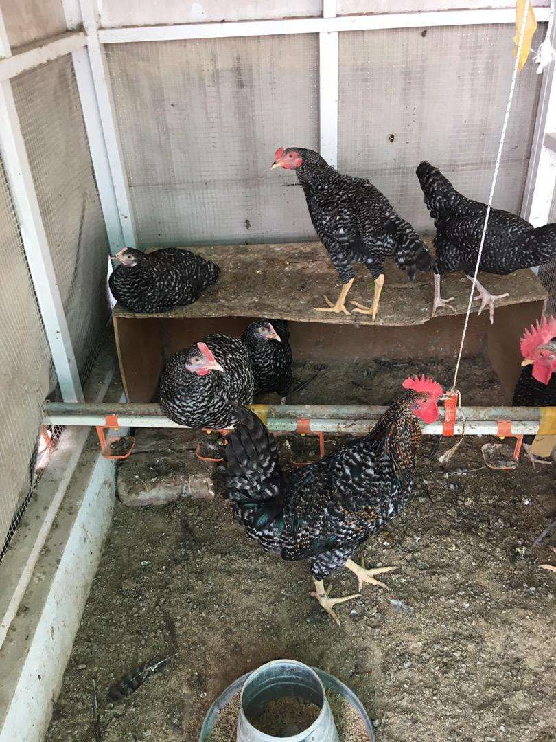 Fancy and Aseel Chicks and Hens For Sale 0