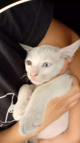 WHITE CAT WITH TWO DIFFRENT EYES