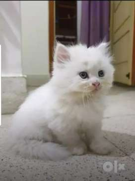 White Persian Kitten for sale  7000..