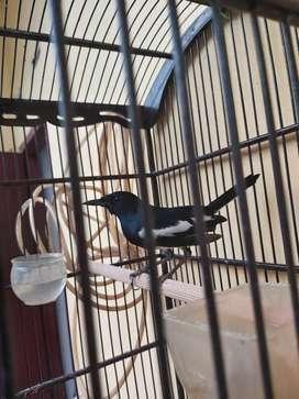 Jual burung ^Kacer Gacor.^
