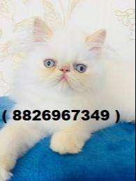 Persian CatKittens top pure good Very