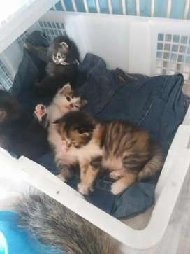 kucing persia induk plus anak
