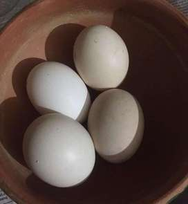 Eggs of fighter aseel