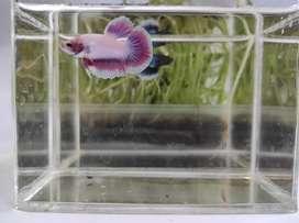 Ikan Cupang Halfmoon Grade