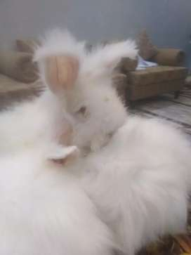 English Angora show Quality bunnies pair