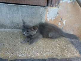 Grey DOLL FACE CAT URGENT SELL AGE 2MONTHS long coat
