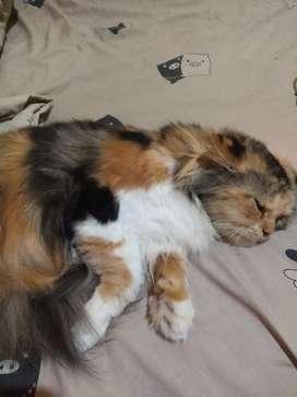 jual kucing persia