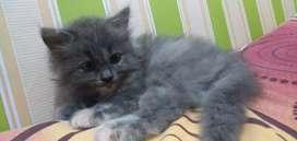kucing persia betina super gembul n sehat