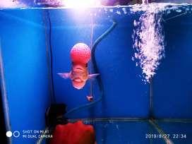 Ikan Louhan boom head