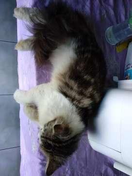 Kucing Persia manja