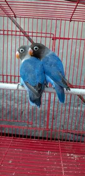 Lovebird Sepasang Dark Blue jos