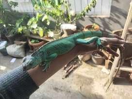 Blue Iguana / Blue Iggy