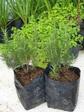 Bibit tanaman Rosemary
