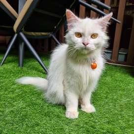 Kucing Betina Persia Putih Solid 8 Bulan Cocok Calon Indukan