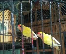 Lovebird lutino mm Nonklep Non Klep
