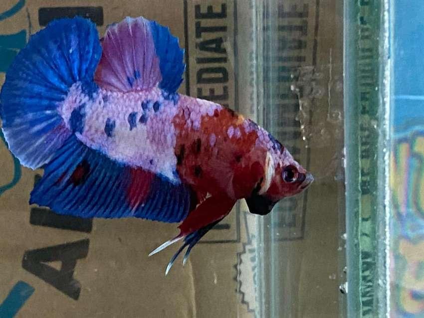 Ikan cupang hias 0
