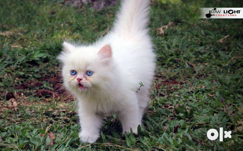 High Quality Pure Persian Kittens Cats Available 0