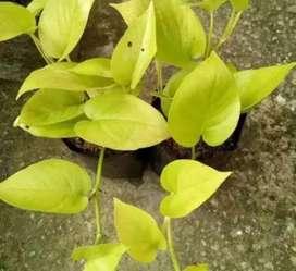 Jual pohon serigading kuning hias