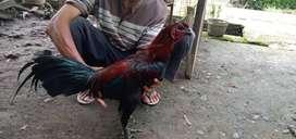 Ayam Lincir magon