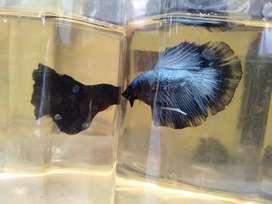 Beta Fish HM Avatar