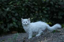 Healthy Persian kittens available