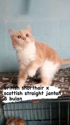 british shorthair jantan