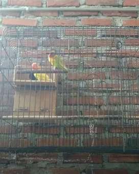 Lovebird sepasang+kandang+Glodok Rp 400.000 (net)