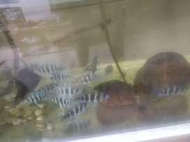 Ikan frontosa burndi