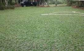 Jual rumput gajah mini hijau