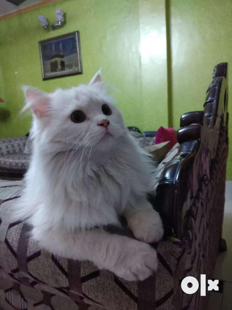 Kitten Persian 0