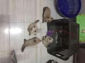 Kitten Kucing Himalaya