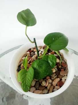 Sirih Gading in pot