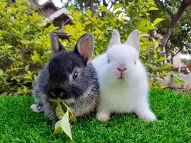 Kelinci Mini Kelinci ND Lucu Abis