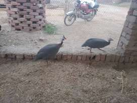 Guineafowl  for sale