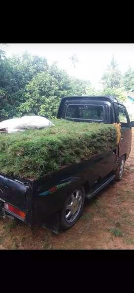 Jual Rumput peking atau Rumput jepang